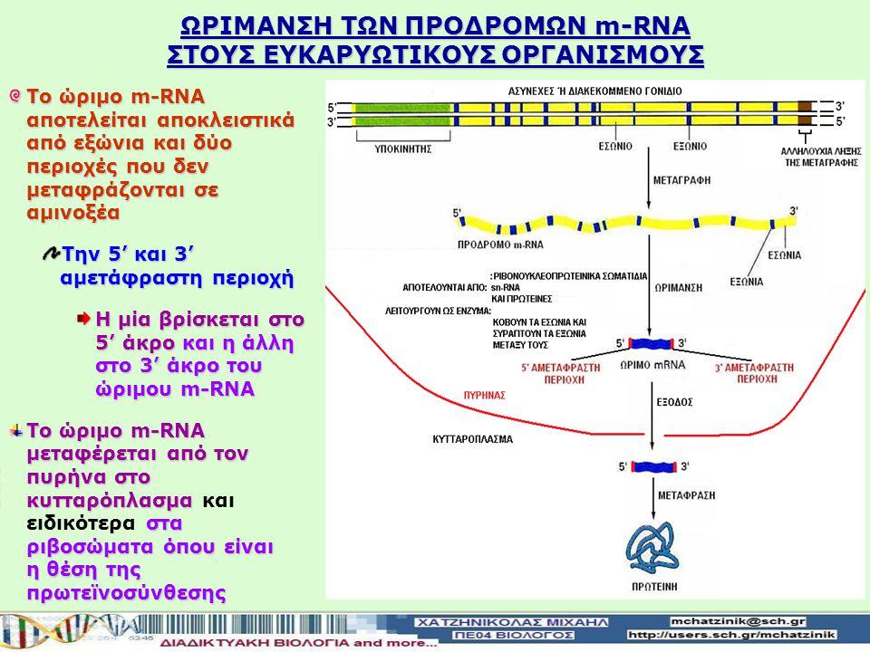 ΩΡIΜΑΝΣΗ ΤΩΝ ΠΡΟΔΡΟΜΩΝ m-RNA ΣΤΟΥΣ ΕΥΚΑΡΥΩΤΙΚΟΥΣ ΟΡΓΑΝΙΣΜΟΥΣ Κατά τη μεταγραφή ενός ασυνεχούς γονιδίου δημιουργείται το πρόδρομο m-RNA που περιέχει και εξώνια και εσώνια Αυτό θα υποστείωρίμανση τα εσώνια κόβονται από τα ριβονουκλεοπρωτεϊνικά σωματίδια και απομακρύνονται Αυτό θα υποστεί ωρίμανση κατά την οποία τα εσώνια κόβονται από τα ριβονουκλεοπρωτεϊνικά σωματίδια και απομακρύνονται Τα ριβονουκλεοπρωτεϊνικά σωματίδια αποτελούνται από Τα ριβονουκλεοπρωτεϊνικά σωματίδια αποτελούνται από:sn-RNA και πρωτεΐνες Λειτουργούν ως ένζυμα κόβουν τα εσώνιακαι συρράπτουν τα εξώνια μεταξύ τους Λειτουργούν ως ένζυμα κόβουν τα εσώνια και συρράπτουν τα εξώνια μεταξύ τους ώριμο m-RNA Με αυτό τον τρόπο σχηματίζεται το ώριμο m-RNA