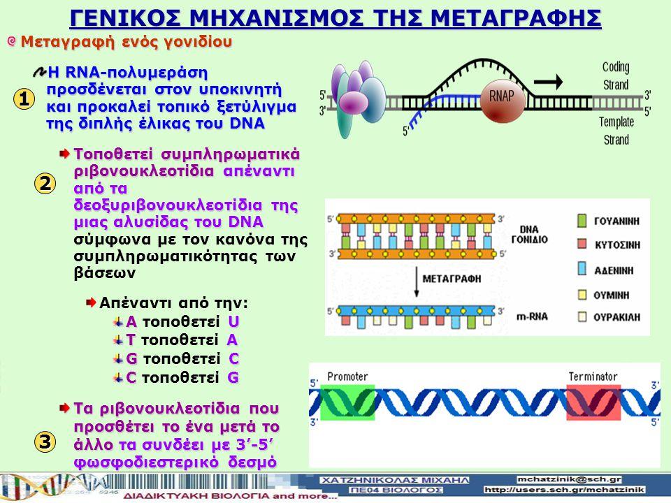 ΓΕΝΙΚΟΣ ΜΗΧΑΝΙΣΜΟΣ ΤΗΣ ΜΕΤΑΓΡΑΦΗΣ 1 Μεταγραφή ενός γονιδίου Η RNA-πολυμεράση προσδένεται στον υποκινητή και προκαλεί τοπικό ξετύλιγμα της διπλής έλικας του DNA Τοποθετεί συμπληρωματικά ριβονουκλεοτίδιααπέναντι από τα δεοξυριβονουκλεοτίδια της μιας αλυσίδαςτου DNA Τοποθετεί συμπληρωματικά ριβονουκλεοτίδια απέναντι από τα δεοξυριβονουκλεοτίδια της μιας αλυσίδας του DNA σύμφωνα με τον κανόνα της συμπληρωματικότητας των βάσεων Απέναντι από την: ΑU Α τοποθετεί U ΤΑ Τ τοποθετεί Α GC G τοποθετεί C CG C τοποθετεί G Τα ριβονουκλεοτίδια που προσθέτει το ένα μετά το άλλοτα συνδέει με 3'-5' φωσφοδιεστερικό δεσμό Τα ριβονουκλεοτίδια που προσθέτει το ένα μετά το άλλο τα συνδέει με 3'-5' φωσφοδιεστερικό δεσμό 2 3
