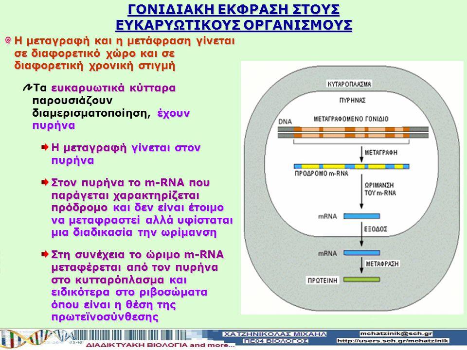 ΓΟΝΙΔΙΑΚΗ ΕΚΦΡΑΣΗ ΣΤΟΥΣ ΕΥΚΑΡΥΩΤΙΚΟΥΣ ΟΡΓΑΝΙΣΜΟΥΣ Η μεταγραφή και η μετάφραση γίνεται σε διαφορετικό χώρο και σε διαφορετική χρονική στιγμή ευκαρυωτικά κύτταρα έχουν πυρήνα Τα ευκαρυωτικά κύτταρα παρουσιάζουν διαμερισματοποίηση, έχουν πυρήνα μεταγραφή γίνεται στον πυρήνα Η μεταγραφή γίνεται στον πυρήνα Στον πυρήναο m-RNA που παράγεται χαρακτηρίζεται πρόδρομο και δεν είναι έτοιμο να μεταφραστεί αλλά υφίσταται μια διαδικασία την ωρίμανση Στον πυρήνα το m-RNA που παράγεται χαρακτηρίζεται πρόδρομο και δεν είναι έτοιμο να μεταφραστεί αλλά υφίσταται μια διαδικασία την ωρίμανση Στη συνέχεια το ώριμο m-RNA μεταφέρεται από τον πυρήνα στο κυτταρόπλασμα και ειδικότερα στο ριβοσώματα όπου είναι η θέση της πρωτεïνοσύνθεσης