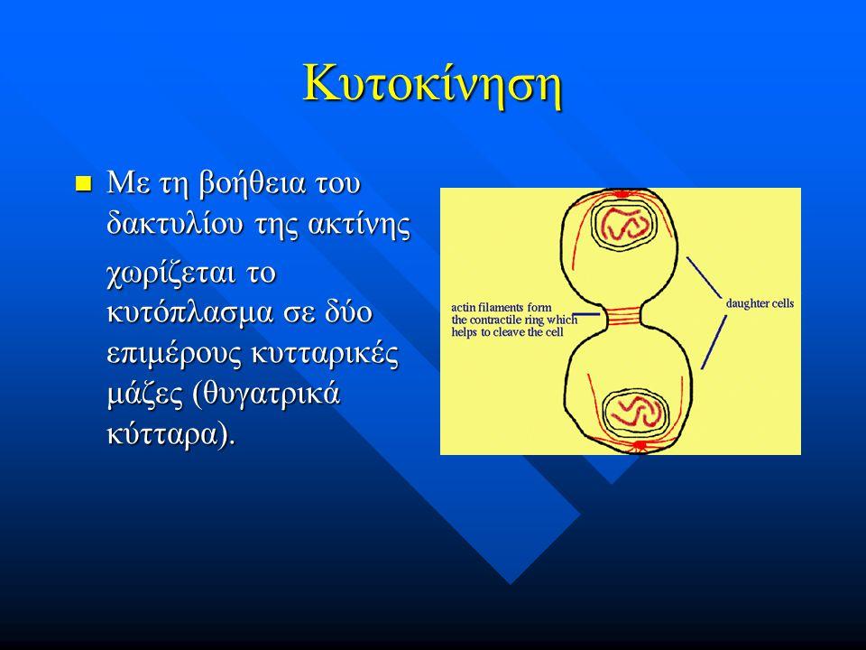 Κυτοκίνηση Με τη βοήθεια του δακτυλίου της ακτίνης Με τη βοήθεια του δακτυλίου της ακτίνης χωρίζεται το κυτόπλασμα σε δύο επιμέρους κυτταρικές μάζες (