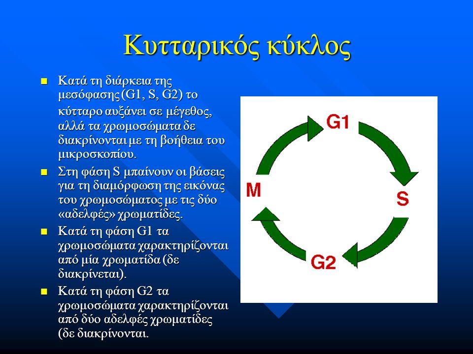 Κυτταρικός κύκλος Κατά τη διάρκεια της μεσόφασης (G1, S, G2) το κύτταρο αυξάνει σε μέγεθος, αλλά τα χρωμοσώματα δε διακρίνονται με τη βοήθεια του μικρ