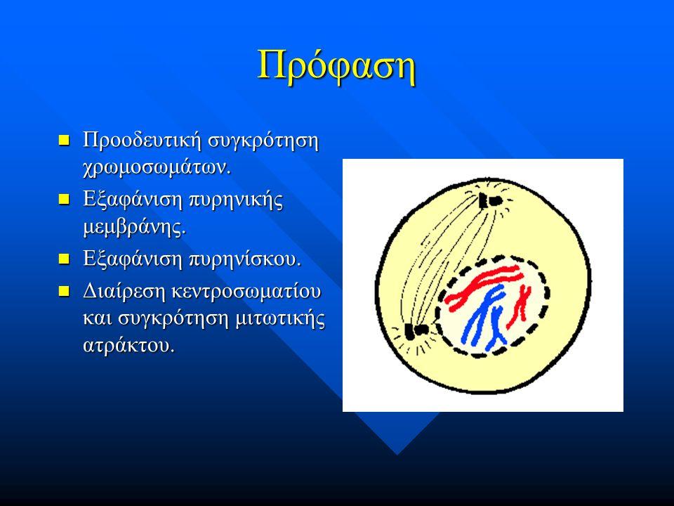 Πρόφαση Προοδευτική συγκρότηση χρωμοσωμάτων. Προοδευτική συγκρότηση χρωμοσωμάτων. Εξαφάνιση πυρηνικής μεμβράνης. Εξαφάνιση πυρηνικής μεμβράνης. Εξαφάν