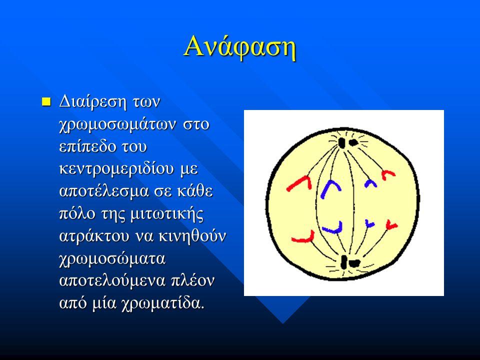 Ανάφαση Διαίρεση των χρωμοσωμάτων στο επίπεδο του κεντρομεριδίου με αποτέλεσμα σε κάθε πόλο της μιτωτικής ατράκτου να κινηθούν χρωμοσώματα αποτελούμεν