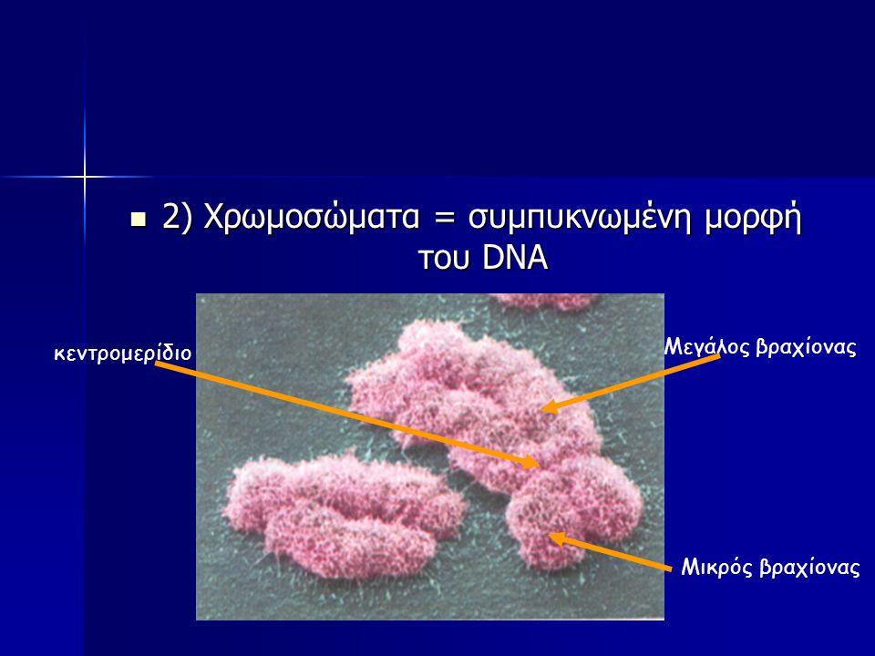 Μορφές του DNA στο κύτταρο 1) Χρωματίνη = Αποσυμπυκνωμένη μορφή του DNA σε ινίδια 1) Χρωματίνη = Αποσυμπυκνωμένη μορφή του DNA σε ινίδια Ινίδια Χρωματίνης στα οποία φαίνονται τα νουκλεόσώματα