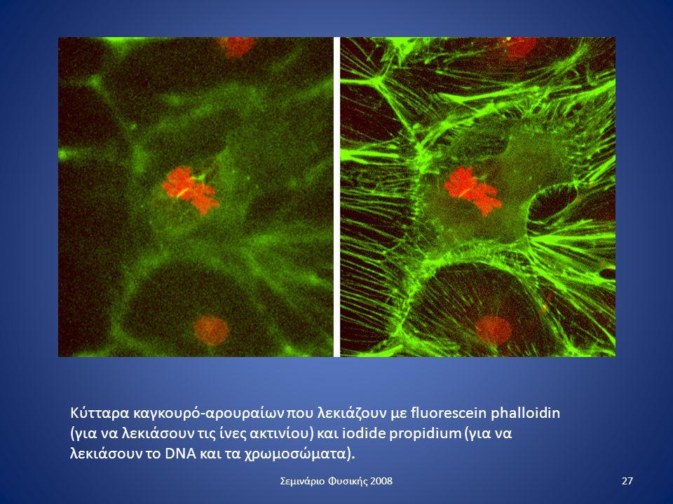 Κύτταρα καγκουρό-αρουραίων που λεκιάζουν με fluorescein phalloidin (για να λεκιάσουν τις ίνες ακτινίου) και iodide propidium (για να λεκιάσουν το DNA