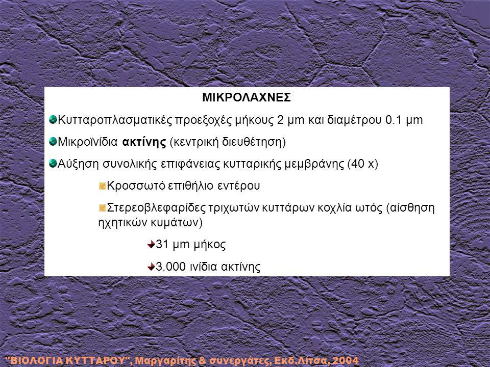 ΒΙΟΛΟΓΙΑ ΚΥΤΤΑΡΟΥ , Μαργαρίτης & συνεργάτες, Εκδ.Λίτσα, 2004 ΜΙΚΡΟΛΑΧΝΕΣ Κυτταροπλασματικές προεξοχές μήκους 2 μm και διαμέτρου 0.1 μm Μικροϊνίδια ακτίνης (κεντρική διευθέτηση) Αύξηση συνολικής επιφάνειας κυτταρικής μεμβράνης (40 x) Κροσσωτό επιθήλιο εντέρου Στερεοβλεφαρίδες τριχωτών κυττάρων κοχλία ωτός (αίσθηση ηχητικών κυμάτων) 31 μm μήκος 3.000 ινίδια ακτίνης