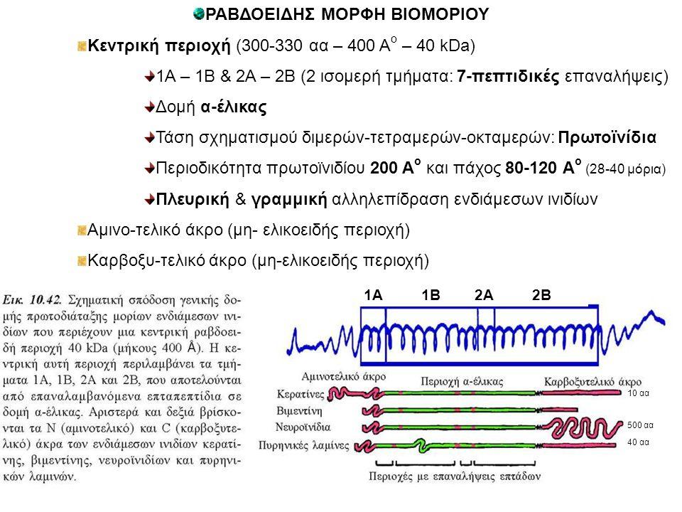 ΡΑΒΔΟΕΙΔΗΣ ΜΟΡΦΗ ΒΙΟΜΟΡΙΟΥ Κεντρική περιοχή (300-330 αα – 400 Α ο – 40 kDa) 1Α – 1Β & 2Α – 2Β (2 ισομερή τμήματα: 7-πεπτιδικές επαναλήψεις) Δομή α-έλικας Τάση σχηματισμού διμερών-τετραμερών-οκταμερών: Πρωτοϊνίδια Περιοδικότητα πρωτοϊνιδίου 200 Α ο και πάχος 80-120 Α ο (28-40 μόρια) Πλευρική & γραμμική αλληλεπίδραση ενδιάμεσων ινιδίων Αμινο-τελικό άκρο (μη- ελικοειδής περιοχή) Καρβοξυ-τελικό άκρο (μη-ελικοειδής περιοχή) 10 αα 500 αα 40 αα 1Α 1Β 2Α 2Β