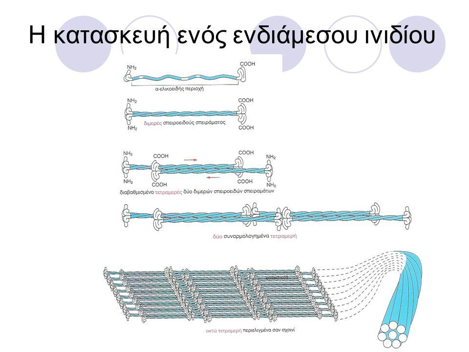 ΣΤΑΘΕΡΟΠΟΙΗΣΗ ΜΙΚΡΟΣΩΛΗΝΙΣΚΩΝ Ο αποπολυμερισμός σταματά όταν το συν άκρο του συνδεθεί με ένα μόριο ή με την κυτταρική μεμβράνη Τα κύτταρα είναι πολωμένα: οι μικροσωληνίσκοι βοηθούν στην τοποθέτηση των οργανιδίων μέσα στο κύτταρο Καθοδηγούν τη διακίνηση μέσα στο κύτταρο σε συνεργασία με τις επικουρικές πρωτεΐνες Οι κινητήριες πρωτεΐνες κινούνται κατά μήκος τους και μεταφέρουν υλικά του κυττάρου