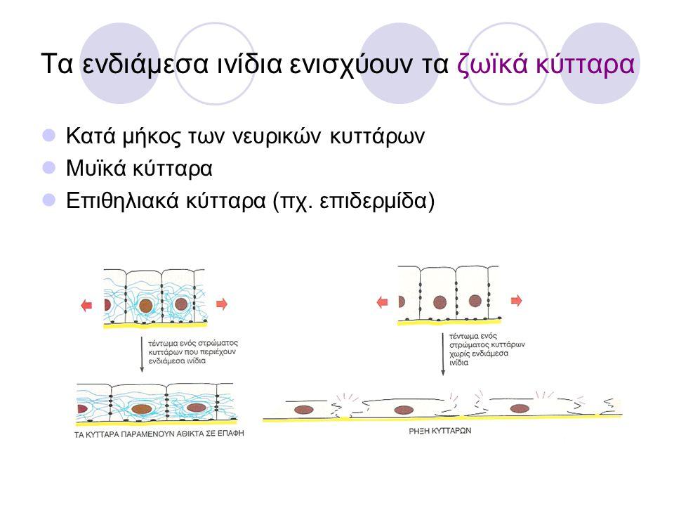 Τα ενδιάμεσα ινίδια ενισχύουν τα ζωϊκά κύτταρα Κατά μήκος των νευρικών κυττάρων Μυϊκά κύτταρα Επιθηλιακά κύτταρα (πχ. επιδερμίδα)