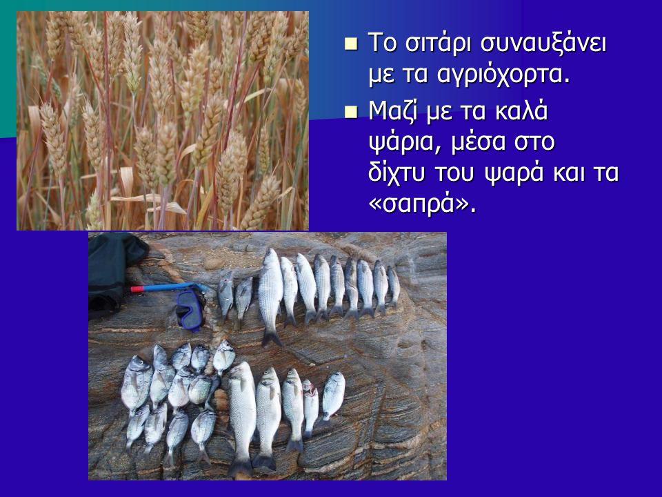 Το σιτάρι συναυξάνει με τα αγριόχορτα. Το σιτάρι συναυξάνει με τα αγριόχορτα. Μαζί με τα καλά ψάρια, μέσα στο δίχτυ του ψαρά και τα «σαπρά». Μαζί με τ