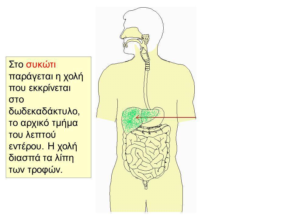 Στη συνέχεια η διαλυμένη τροφή από το στομάχι οδηγείται στο λεπτό έντερο και διασπάται σε πιο μικρά συστατικά τα οποία απορροφούνται από τις εντερικές λάχνες και μεταφέρονται με το αίμα σε όλα τα κύτταρα του σώματος.