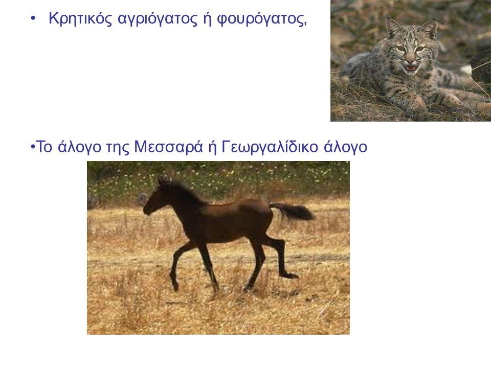 Κρητικός αγριόγατος ή φουρόγατος, Το άλογο της Μεσσαρά ή Γεωργαλίδικο άλογο