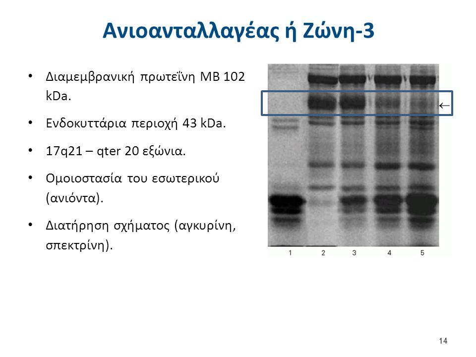Ανιοανταλλαγέας ή Ζώνη-3 Διαμεμβρανική πρωτεΐνη ΜΒ 102 kDa. Ενδοκυττάρια περιοχή 43 kDa. 17q21 – qter 20 εξώνια. Ομοιοστασία του εσωτερικού (ανιόντα).
