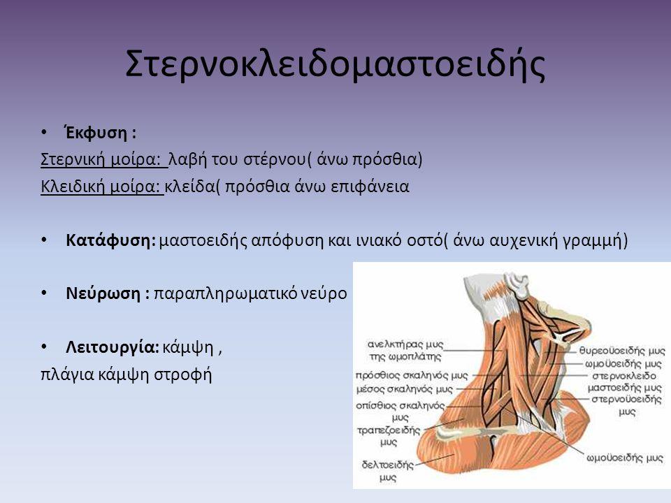 Έκφυση : Στερνική μοίρα: λαβή του στέρνου( άνω πρόσθια) Κλειδική μοίρα: κλείδα( πρόσθια άνω επιφάνεια Κατάφυση: μαστοειδής απόφυση και ινιακό οστό( άν