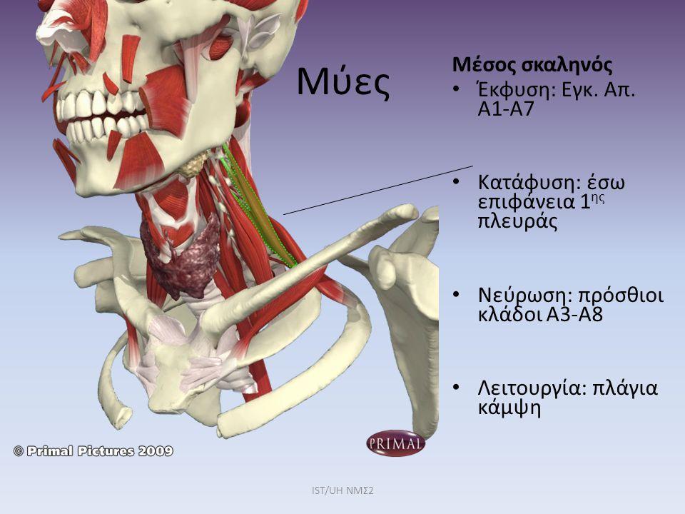 Μύες Μέσος σκαληνός Έκφυση: Εγκ. Απ. Α1-Α7 Κατάφυση: έσω επιφάνεια 1 ης πλευράς Νεύρωση: πρόσθιοι κλάδοι Α3-Α8 Λειτουργία: πλάγια κάμψη IST/UH NMΣ2
