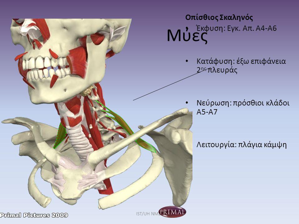 Μύες Οπίσθιος Σκαληνός Έκφυση: Εγκ. Απ. Α4-Α6 Κατάφυση: έξω επιφάνεια 2 ης πλευράς Νεύρωση: πρόσθιοι κλάδοι Α5-Α7 Λειτουργία: πλάγια κάμψη IST/UH NMΣ2