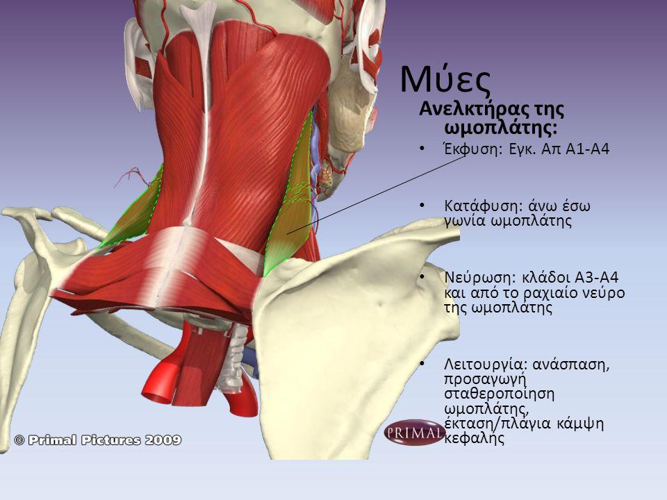 Μύες Ανελκτήρας της ωμοπλάτης: Έκφυση: Εγκ. Απ Α1-Α4 Κατάφυση: άνω έσω γωνία ωμοπλάτης Νεύρωση: κλάδοι Α3-Α4 και από το ραχιαίο νεύρο της ωμοπλάτης Λε