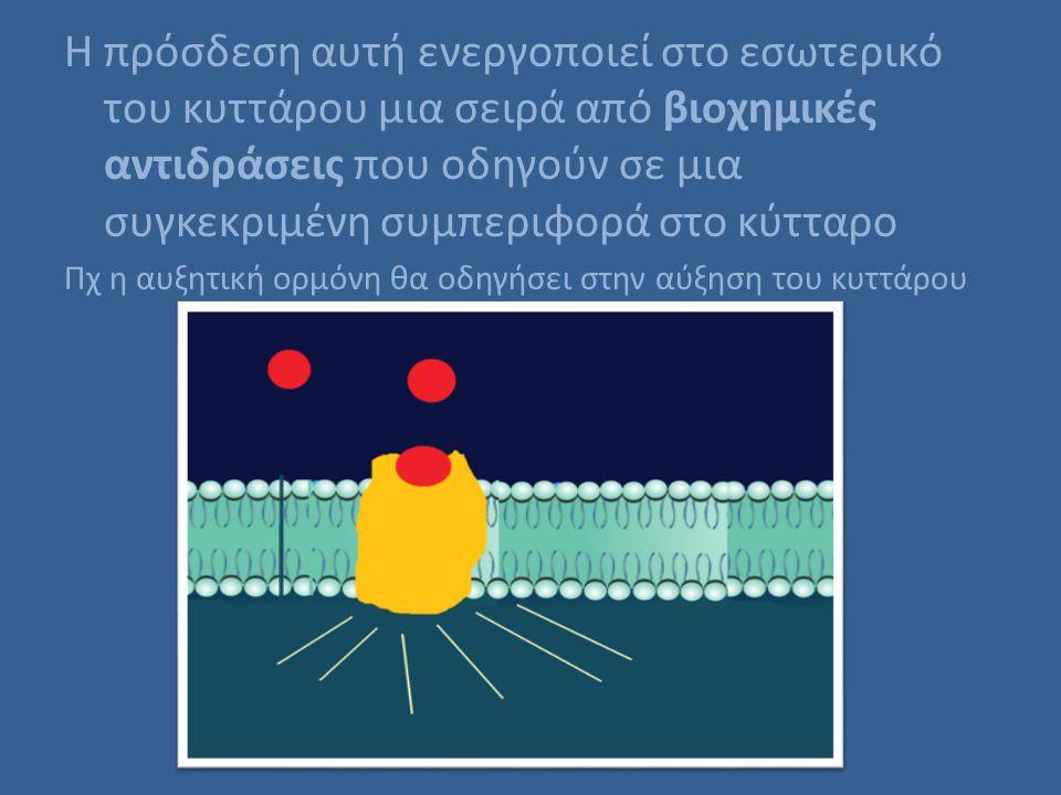 Η πρόσδεση αυτή ενεργοποιεί στο εσωτερικό του κυττάρου μια σειρά από βιοχημικές αντιδράσεις που οδηγούν σε μια συγκεκριμένη συμπεριφορά στο κύτταρο Πχ