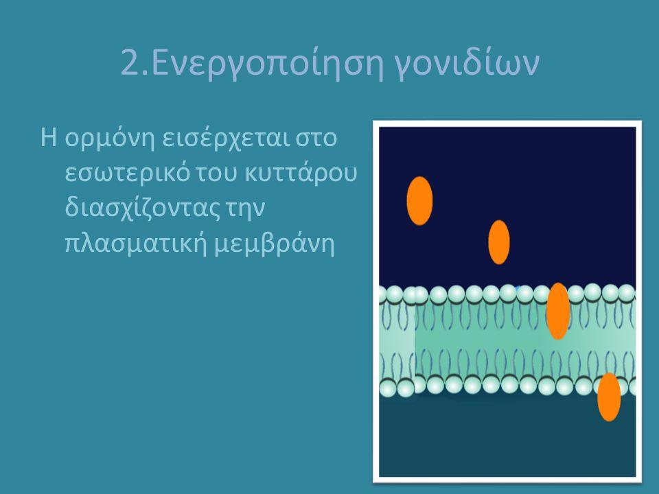 2.Ενεργοποίηση γονιδίων Η ορμόνη εισέρχεται στο εσωτερικό του κυττάρου διασχίζοντας την πλασματική μεμβράνη