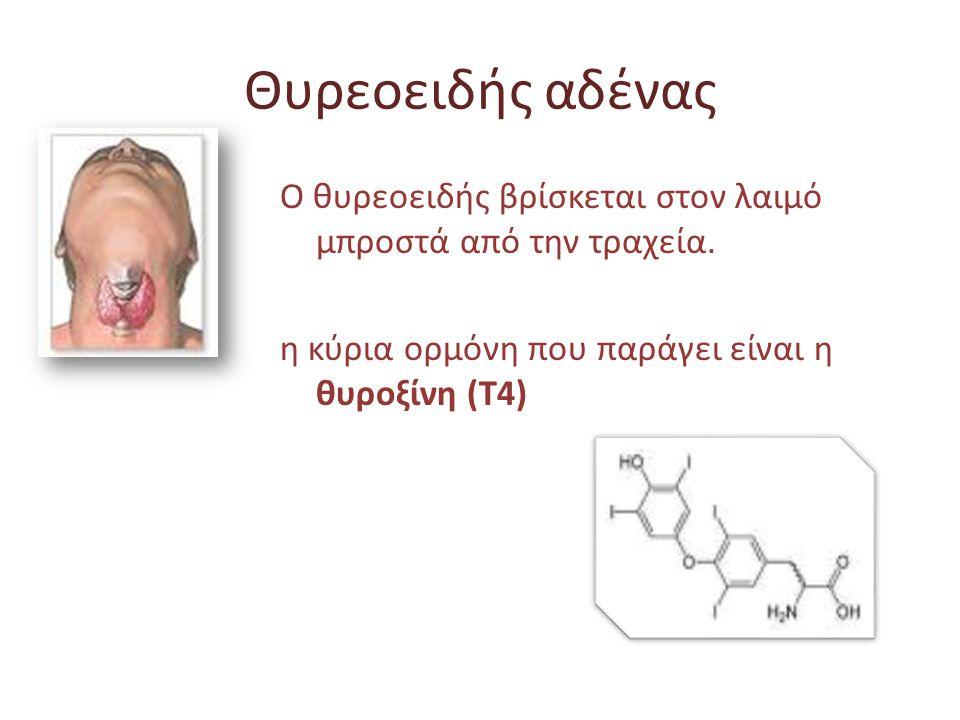 Θυρεοειδής αδένας Ο θυρεοειδής βρίσκεται στον λαιμό μπροστά από την τραχεία. η κύρια ορμόνη που παράγει είναι η θυροξίνη (Τ4)