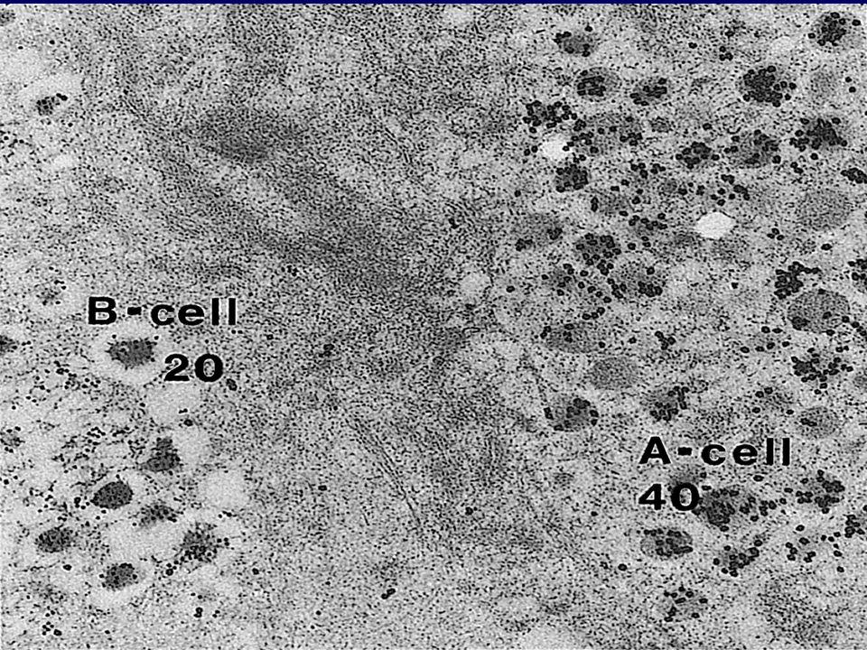 Η Σχέση μεταξύ των α- και β- κυττάρων του παγκρεατικού νησιδίου 35%  -κύτταρα 65% β-κύτταρα