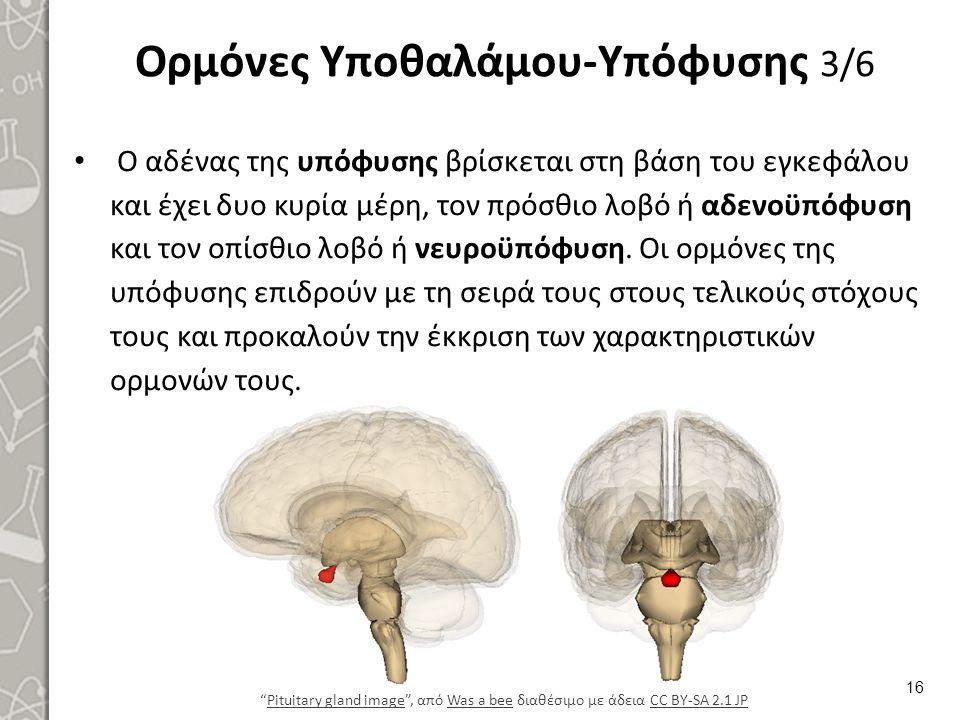 Ορμόνες Υποθαλάμου-Υπόφυσης 3/6 Ο αδένας της υπόφυσης βρίσκεται στη βάση του εγκεφάλου και έχει δυο κυρία μέρη, τον πρόσθιο λοβό ή αδενοϋπόφυση και το