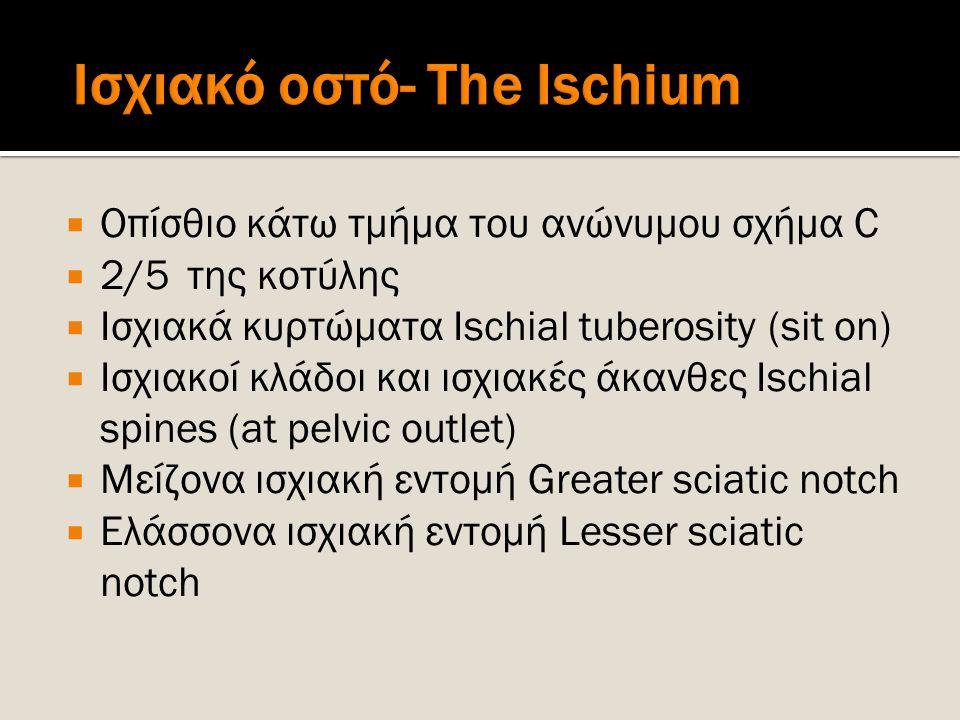  Οπίσθιο κάτω τμήμα του ανώνυμου σχήμα C  2/5 της κοτύλης  Ισχιακά κυρτώματα Ischial tuberosity (sit on)  Ισχιακοί κλάδοι και ισχιακές άκανθες Isc