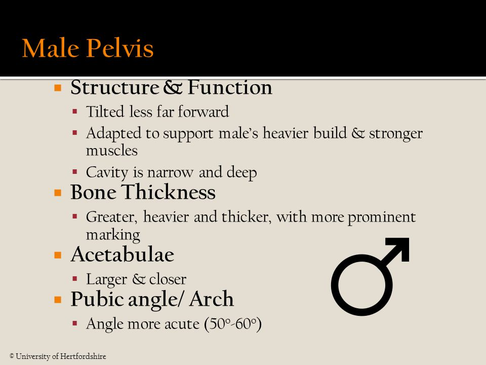  Structure & Function  Tilted less far forward  Adapted to support male's heavier build & stronger muscles  Cavity is narrow and deep  Bone Thick