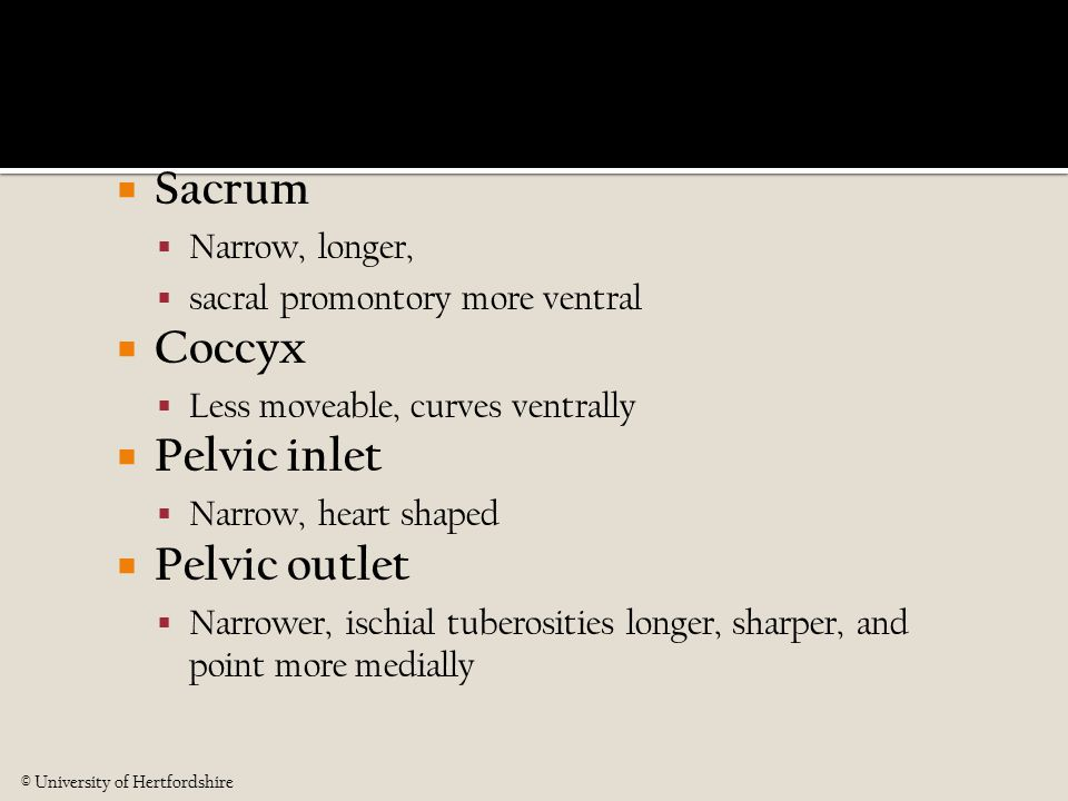  Sacrum  Narrow, longer,  sacral promontory more ventral  Coccyx  Less moveable, curves ventrally  Pelvic inlet  Narrow, heart shaped  Pelvic