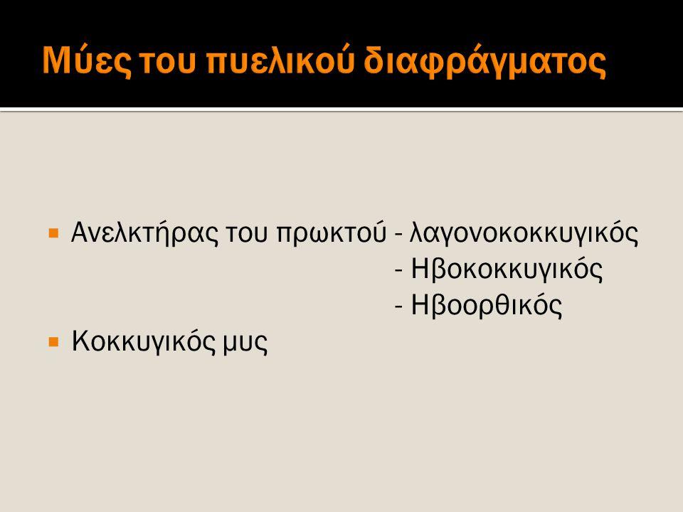  Ανελκτήρας του πρωκτού - λαγονοκοκκυγικός - Ηβοκοκκυγικός - Ηβοορθικός  Κοκκυγικός μυς