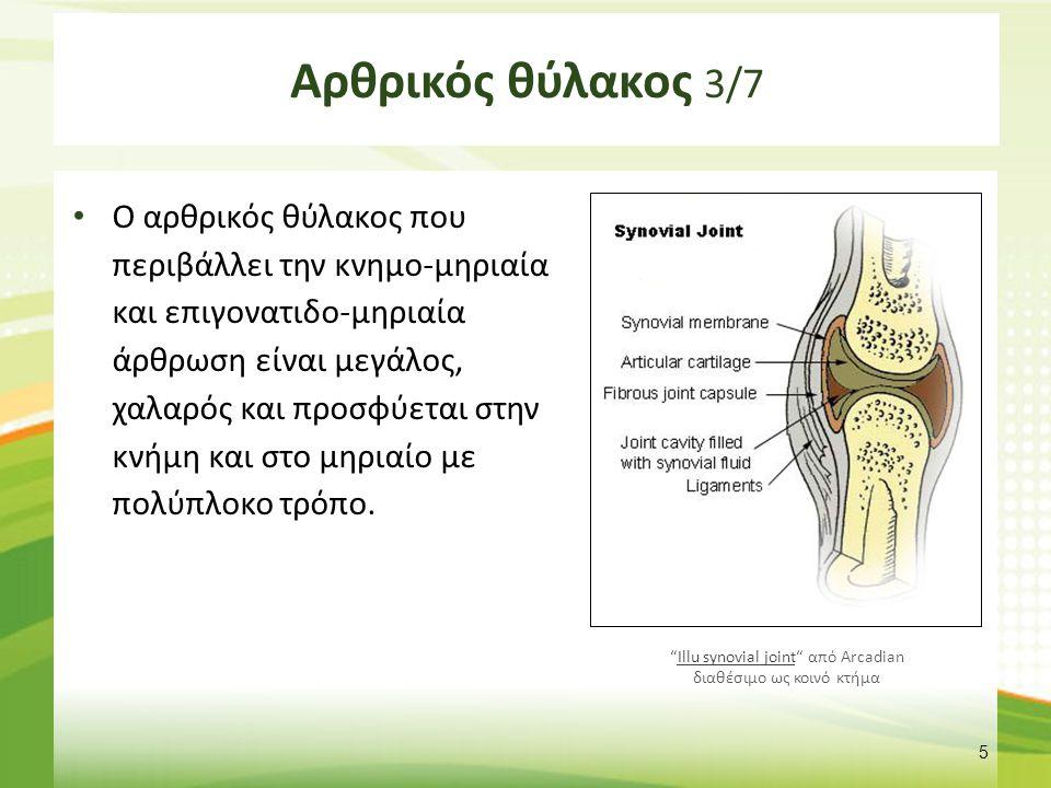 Αρθρικός θύλακος 3/7 Ο αρθρικός θύλακος που περιβάλλει την κνημο-μηριαία και επιγονατιδο-μηριαία άρθρωση είναι μεγάλος, χαλαρός και προσφύεται στην κν