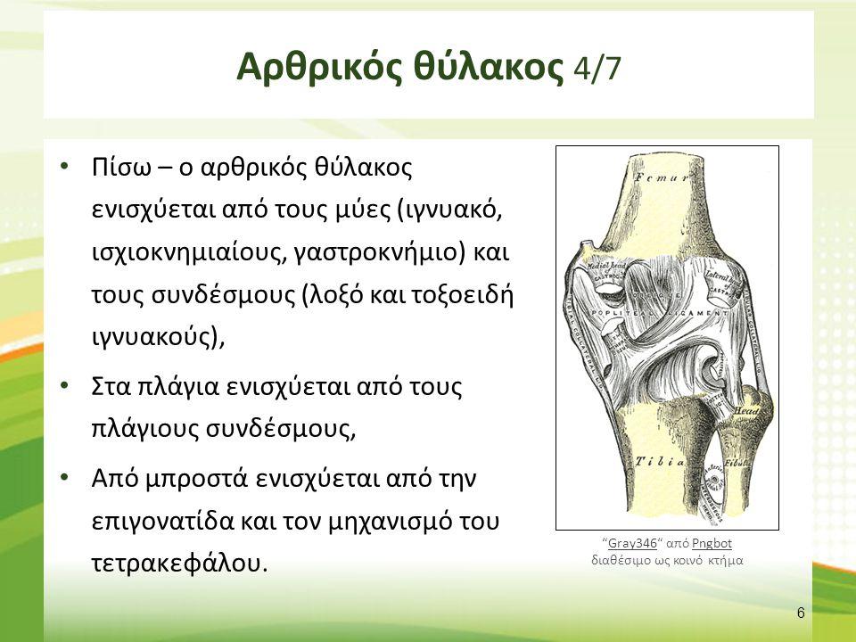 Αρθρικός θύλακος 4/7 Πίσω – ο αρθρικός θύλακος ενισχύεται από τους μύες (ιγνυακό, ισχιοκνημιαίους, γαστροκνήμιο) και τους συνδέσμους (λοξό και τοξοειδ