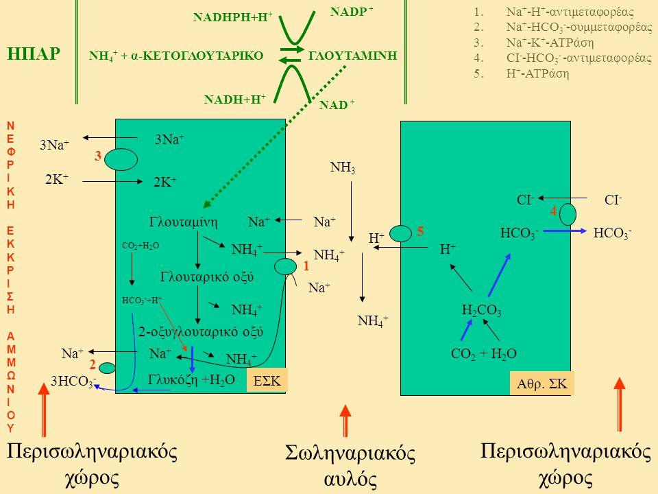 Σωληναριακός αυλός Περισωληναριακός χώρος Περισωληναριακός χώρος Γλουταμίνη Γλουταρικό οξύ 2-οξυγλουταρικό οξύ ΝH4+ΝH4+ ΝH4+ΝH4+ ΝH4+ΝH4+ Na + 1 1.Na