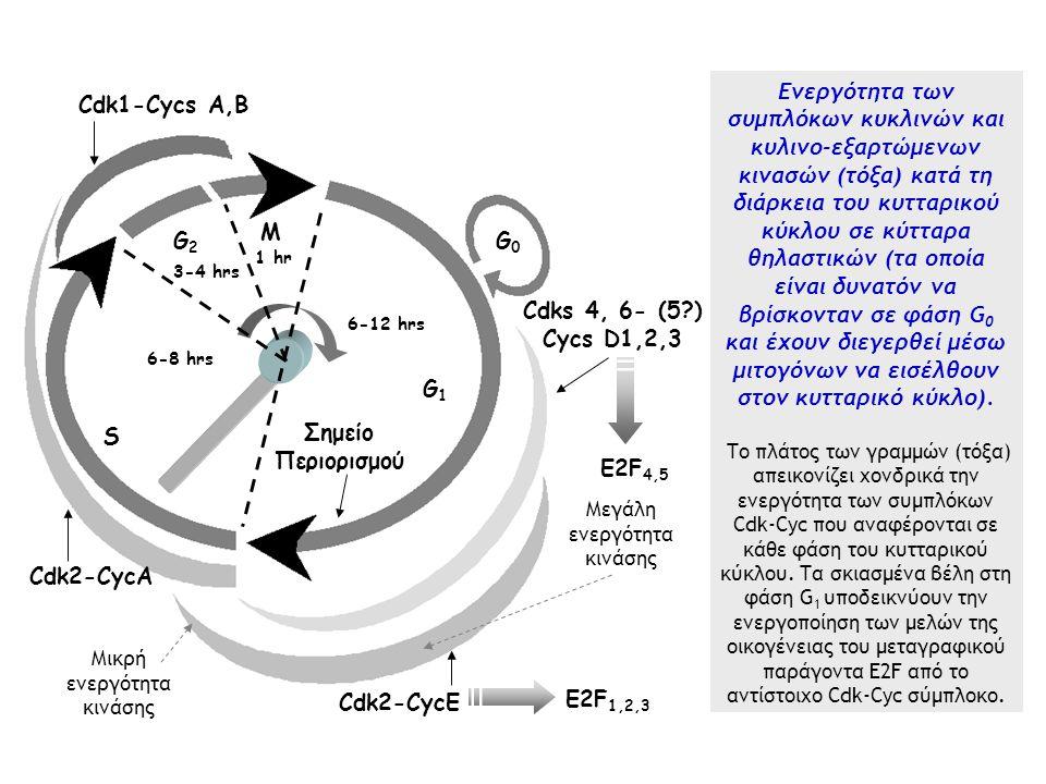 M G2G2 S G1G1 Σημείο Περιορισμού G0G0 Cdk2-CycΕ Cdk1-Cycs Α,B 6-12 hrs 6-8 hrs 3-4 hrs 1 hr Cdk2-CycA Cdks 4, 6- (5?) Cycs D1,2,3 E2F 1,2,3 E2F 4,5 Μεγάλη ενεργότητα κινάσης Μικρή ενεργότητα κινάσης Ενεργότητα των συμπλόκων κυκλινών και κυλινο-εξαρτώμενων κινασών (τόξα) κατά τη διάρκεια του κυτταρικού κύκλου σε κύτταρα θηλαστικών (τα οποία είναι δυνατόν να βρίσκονταν σε φάση G 0 και έχουν διεγερθεί μέσω μιτογόνων να εισέλθουν στον κυτταρικό κύκλο).