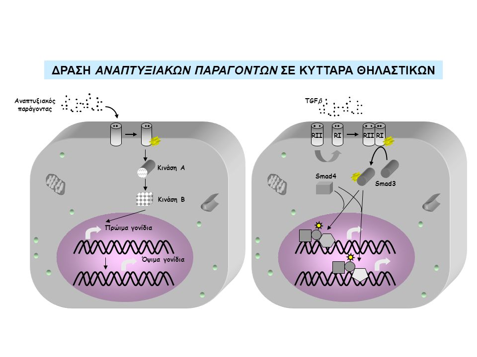RI TGFβ Smad3 Smad4 RIIRIRII Αναπτυξιακός παράγοντας Κινάση Α Κινάση Β Πρώιμα γονίδια Όψιμα γονίδια ΔΡΑΣΗ ΑΝΑΠΤΥΞΙΑΚΩΝ ΠΑΡΑΓΟΝΤΩΝ ΣΕ ΚΥΤΤΑΡΑ ΘΗΛΑΣΤΙΚΩΝ