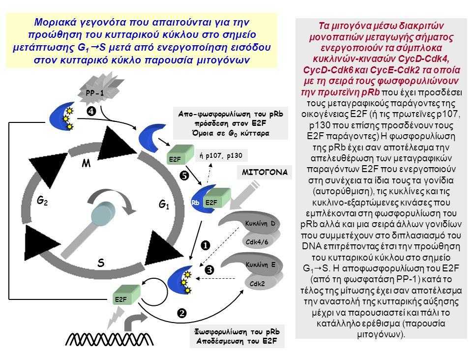 Φωσφορυλίωση του pRb Αποδέσμευση του E2F M G2G2 S G1G1 Κυκλίνη D Cdk4/6 RbE2F Κυκλίνη E Cdk2 E2F Απο-φωσφορυλίωση του pRb πρόσδεση στον E2F Όμοια σε G 0 κύτταρα ΜΙΤΟΓΟΝΑ ή p107, p130 PP-1      Τα μιτογόνα μέσω διακριτών μονοπατιών μεταγωγής σήματος ενεργοποιούν τα σύμπλοκα κυκλινών-κινασών CycD-Cdk4, CycD-Cdk6 και CycΕ-Cdk2 τα οποία με τη σειρά τους φωσφορυλιώνουν την πρωτεϊνη pRb που έχει προσδέσει τους μεταγραφικούς παράγοντες της οικογένειας E2F (ή τις πρωτεϊνες p107, p130 που επίσης προσδένουν τους E2F παράγοντες) Η φωσφορυλίωση της pRb έχει σαν αποτέλεσμα την απελευθέρωση των μεταγραφικών παραγόντων E2F που ενεργοποιούν στη συνέχεια τα ίδια τους τα γονίδια (αυτορύθμιση), τις κυκλίνες και τις κυκλινο-εξαρτώμενες κινάσες που εμπλέκονται στη φωσφορυλίωση του pRb αλλά και μια σειρά άλλων γονιδίων που συμμετέχουν στο διπλασιασμό του DNA επιτρέποντας έτσι την προώθηση του κυτταρικού κύκλου στο σημείο G 1  S.