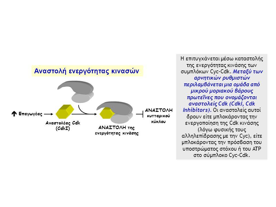  Επαγωγέας ΑΝΑΣΤΟΛΗ της ενεργότητας κινάσης Aναστολέας Cdk (CdkI) ΑΝΑΣΤΟΛΗ κυτταρικού κύκλου Η επιτυγχάνεται μέσω καταστολής της ενεργότητας κινάσης των συμπλόκων Cyc-Cdk.