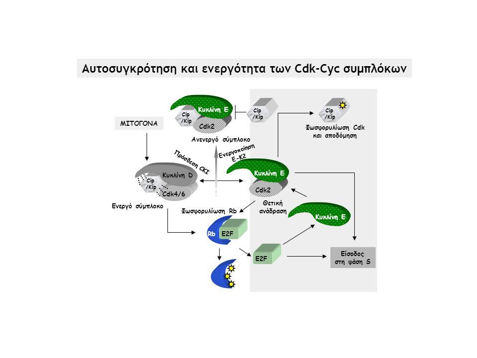 Cip /Kip Cip /Kip Κυκλίνη D Cdk4/6 RbE2F Κυκλίνη E Cdk2 Κυκλίνη E Είσοδoς στη φάση S Cdk2 Κυκλίνη E ΜΙΤΟΓΟΝΑ Cip /Kip Cip /Kip Ενεργό σύμπλοκο Φωσφορυ