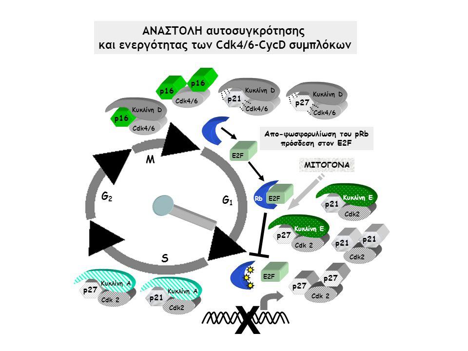 ΑΝΑΣΤΟΛΗ αυτοσυγκρότησης και ενεργότητας των Cdk4/6-CycD συμπλόκων Χ M G2G2 S G1G1 RbE2F Rb E2F Απο-φωσφορυλίωση του pRb πρόσδεση στον E2F Κυκλίνη D Cdk4/6 p16 Cdk4/6 p16 ΜΙΤΟΓΟΝΑ Cdk2 p21 Cdk 2 p27 Cdk2 Κυκλίνη E p21 Κυκλίνη E Cdk 2 p27 Κυκλίνη D Cdk4/6 p21 Κυκλίνη D Cdk4/6 p27p27 Cdk2 Κυκλίνη A p21 Κυκλίνη A Cdk 2 p27