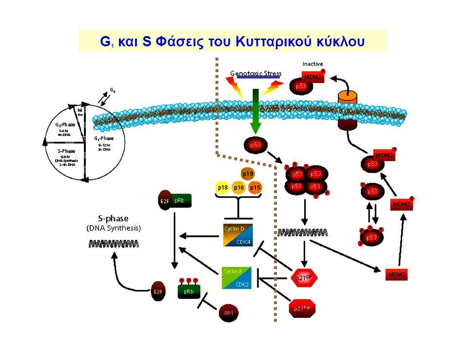 G 1 και S Φάσεις του Κυτταρικού κύκλου