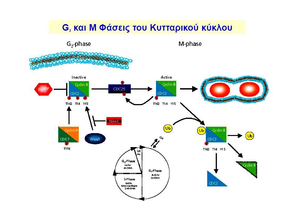 G 2 και M Φάσεις του Κυτταρικού κύκλου