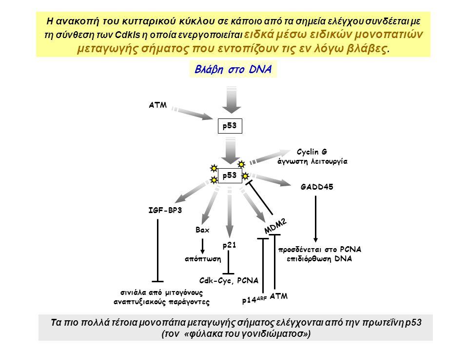 p53 Bax MDM2 p21 Cdk-Cyc, PCNA GADD45 προσδένεται στο PCNA επιδιόρθωση DNA Cyclin G άγνωστη λειτουργία IGF-BP3 απόπτωση σινιάλα από μιτογόνους αναπτυξιακούς παράγοντες Βλάβη στο DNA ATM p53 p14 ARF ATM Η ανακοπή του κυτταρικού κύκλου σε κάποιο από τα σημεία ελέγχου συνδέεται με τη σύνθεση των CdkIs η οποία ενεργοποιείται ειδκά μέσω ειδικών μονοπατιών μεταγωγής σήματος που εντοπίζουν τις εν λόγω βλάβες.