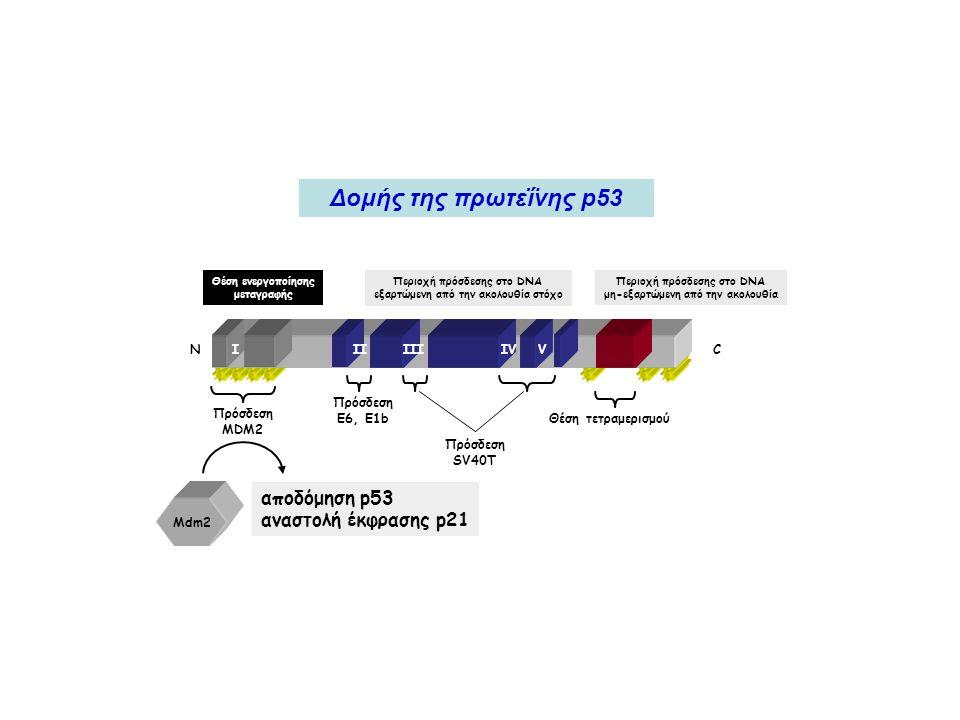 ΝCIIIIIIIVV Πρόσδεση SV40T Πρόσδεση E6, E1b Πρόσδεση MDM2 Θέση τετραμερισμού Θέση ενεργοποίησης μεταγραφής Περιοχή πρόσδεσης στο DNA μη-εξαρτώμενη από την ακολουθία Περιοχή πρόσδεσης στο DNA εξαρτώμενη από την ακολουθία στόχο Mdm2 αποδόμηση p53 αναστολή έκφρασης p21 Δομής της πρωτεΐνης p53