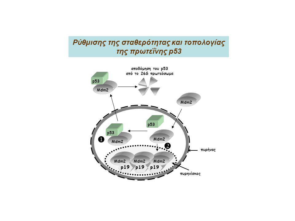p19 Mdm2 p53 Mdm2 p53 Mdm2 p53 αποδόμηση του p53 από το 26S πρωτεόσωμα Mdm2 πυρηνίσκος πυρήνας   Ρύθμισης της σταθερότητας και τοπολογίας της πρωτεΐνης p53