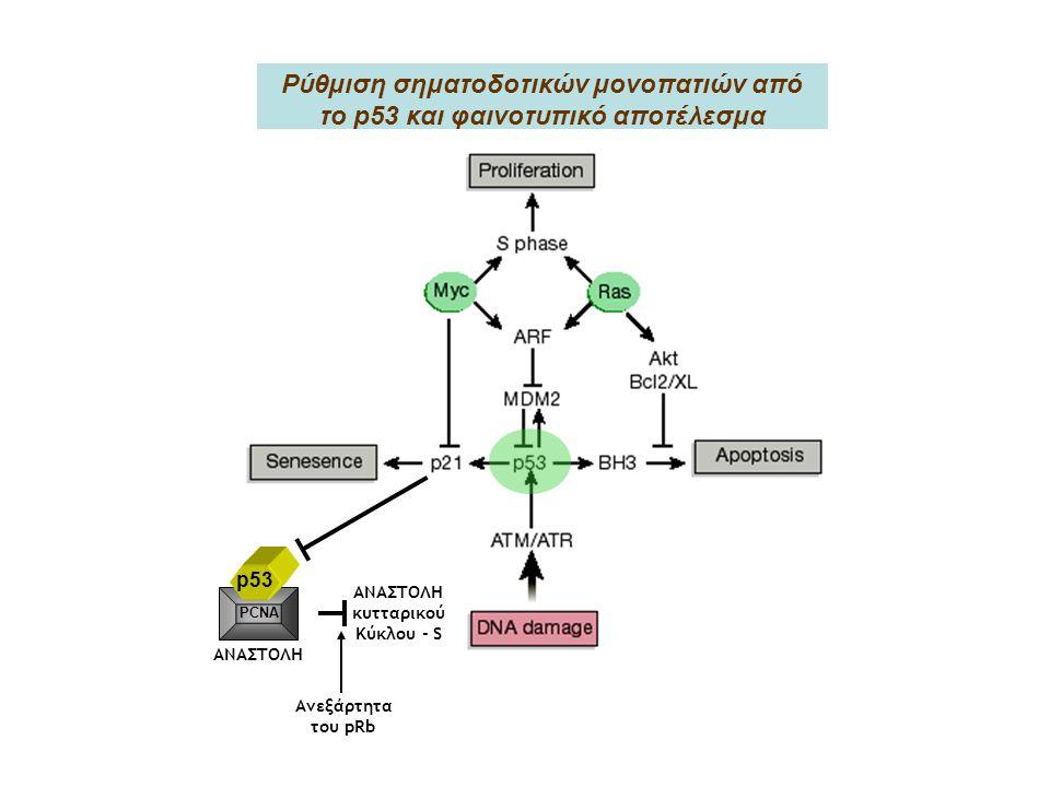 Ρύθμιση σηματοδοτικών μονοπατιών από το p53 και φαινοτυπικό αποτέλεσμα ΑΝΑΣΤΟΛΗ κυτταρικού Κύκλου - S Ανεξάρτητα του pRb p53 PCNA