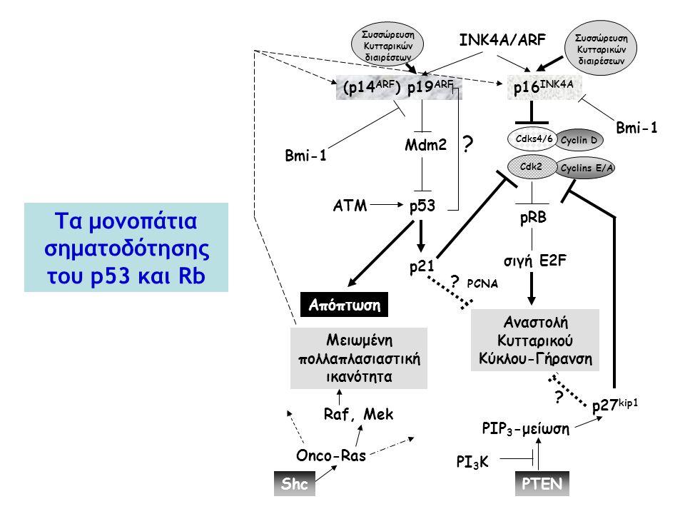 (p14 ARF ) p19 ARF INK4A/ARF p16 INK4A Mdm2 p53 pRB σιγή E2F Cdks4/6 Cyclin D ? p21 ΑΤΜ Αναστολή Κυτταρικού Κύκλου-Γήρανση Bmi-1 Απόπτωση p27 kip1 PIP