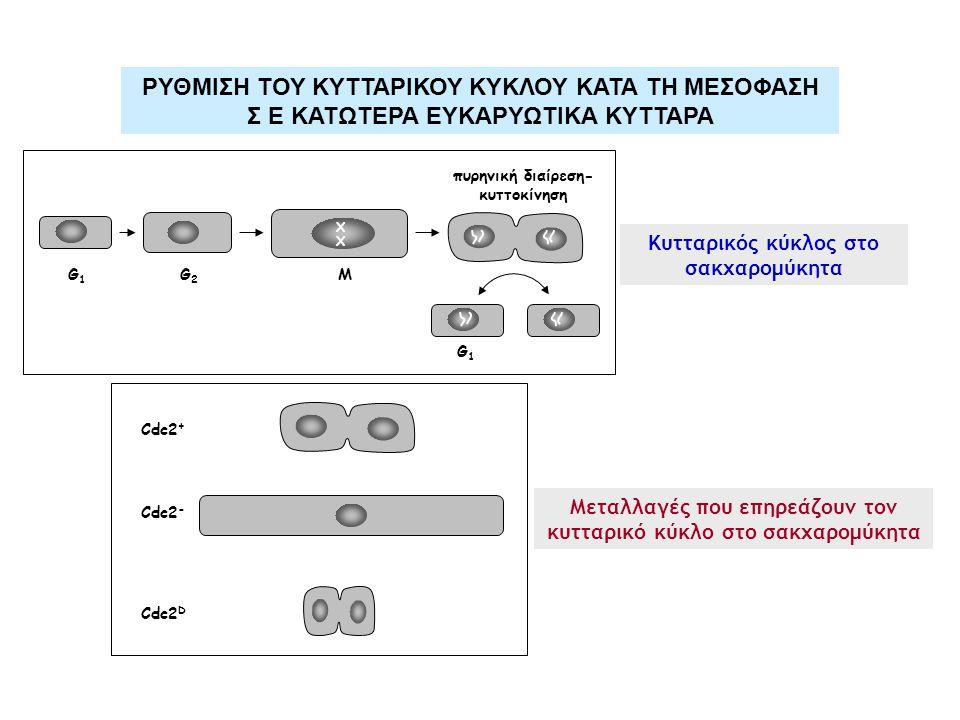 X X G1G1 G2G2 M πυρηνική διαίρεση- κυττοκίνηση G1G1 Cdc2 + Cdc2 - Cdc2 D Μεταλλαγές που επηρεάζουν τον κυτταρικό κύκλο στο σακχαρομύκητα Κυτταρικός κύκλος στο σακχαρομύκητα ΡΥΘΜΙΣΗ ΤΟΥ ΚΥΤΤΑΡΙΚΟΥ ΚΥΚΛΟΥ ΚΑΤΑ ΤΗ ΜΕΣΟΦΑΣΗ Σ Ε ΚΑΤΩΤΕΡΑ ΕΥΚΑΡΥΩΤΙΚΑ ΚΥΤΤΑΡΑ