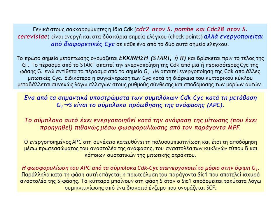 Γενικά στους σακχαρομύκητες η ίδια Cdk ( cdc2 στον S. pombe και Cdc28 στον S. cerevisiae ) είναι ενεργή και στα δύο κύρια σημεία ελέγχου (check points