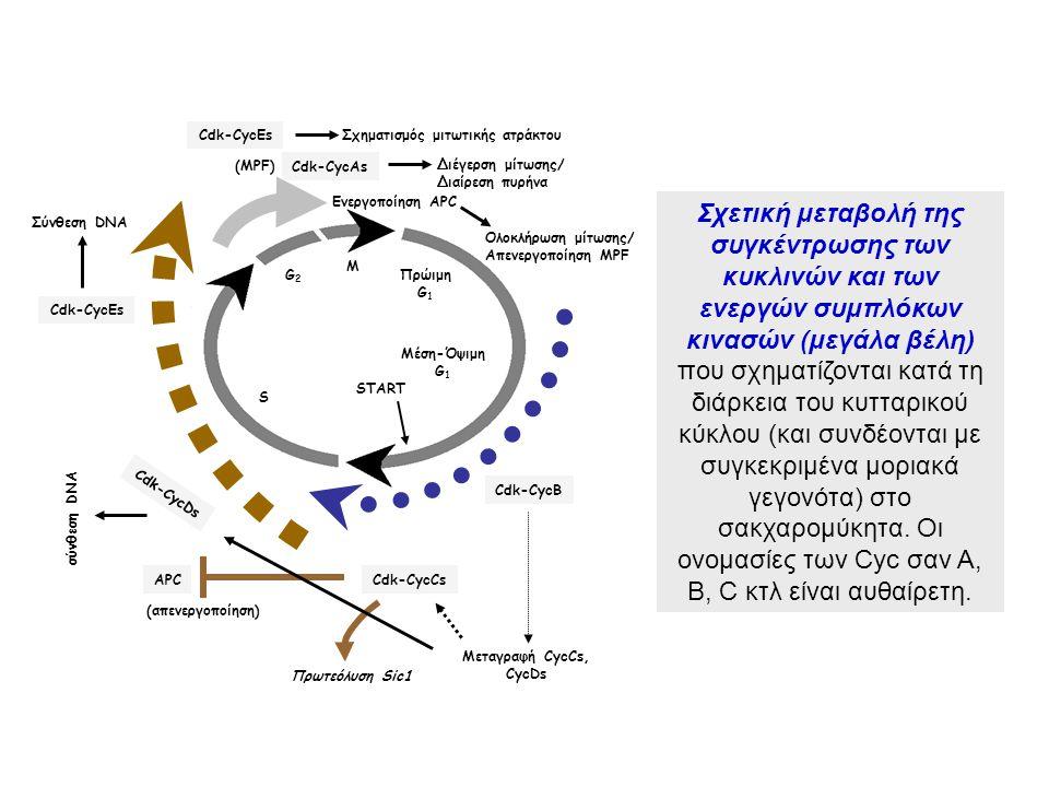 M G2G2 S Μέση-Όψιμη G 1 START Πρώιμη G 1 Πρωτεόλυση Sic1 Cdk-CycCsAPC Cdk-CycB Μεταγραφή CycCs, CycDs Cdk-CycDs σύνθεση DNA Cdk-CycEsΣχηματισμός μιτωτ