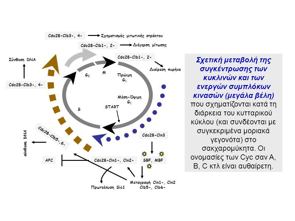 M G2G2 S Μέση-Όψιμη G 1 START Πρώιμη G 1 Πρωτεόλυση Sic1 Cdc28-Cln1-, Cln2-APC Cdc28-Cln3 SBF, MBF Μεταγραφή Cln1-, Cln2 Clb5-, Clb6- Cdc28-Clb5-,6- σ
